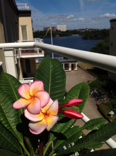 Care for flowering plumeria frangipani indoors part 4 5 for Balcony sunbathing