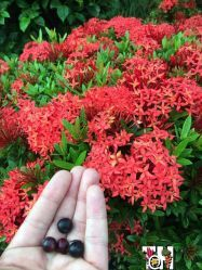 Dwarf species of Ixora and its berries with seeds