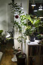 Foxtail palm (Wodyetia bifurcata) indoors