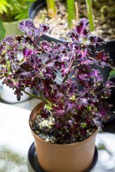 Coleus (Plectranthus scuttellarioides)