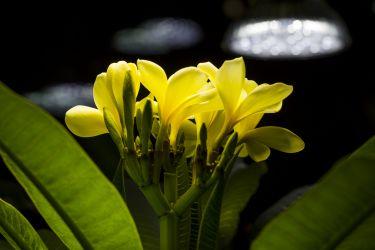 Plumeria rubra 'Celadine'