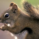 Classroom/Laboratory Activity: Squirrel Species Distribution and Climate Change