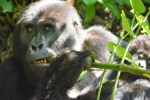 Lesson Plan: Ecological Niches and Biogeography: Mountain Gorillas, Bamboo and Climate