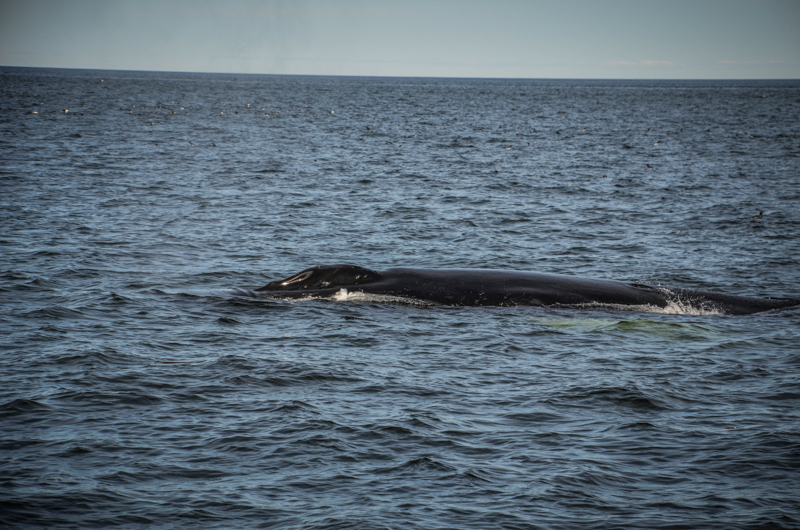 baleine gaspésie québec