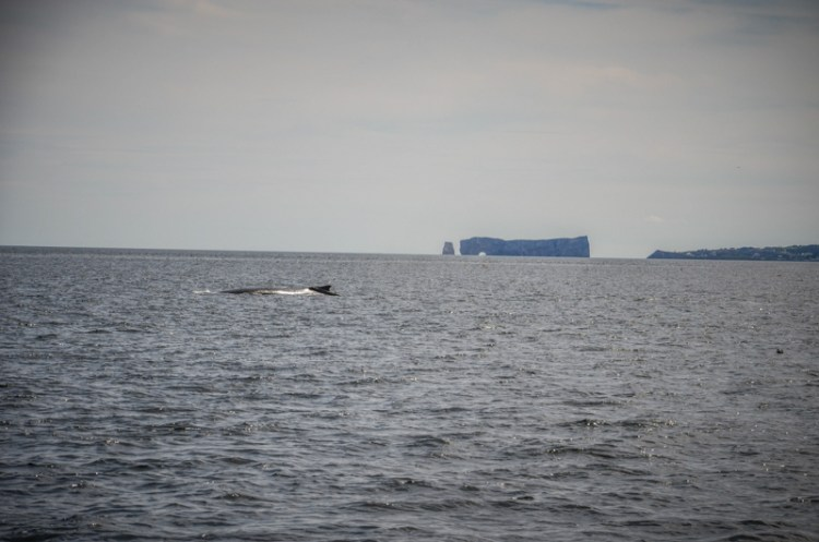 baleine parc forillon gaspésie