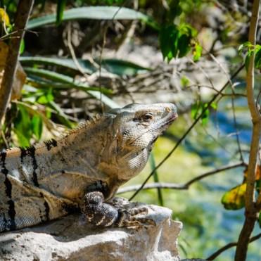 iguane cenote azul mexique