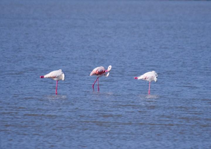 Flamingos_0557