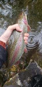 Rainbow trout the swift river ma