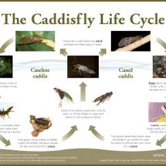 Walking Stick Insect Life Cycle Diagram 98 Dodge Neon Radio Wiring Caddis Fly Related Keywords