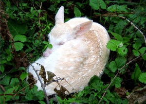 Albino Bambi