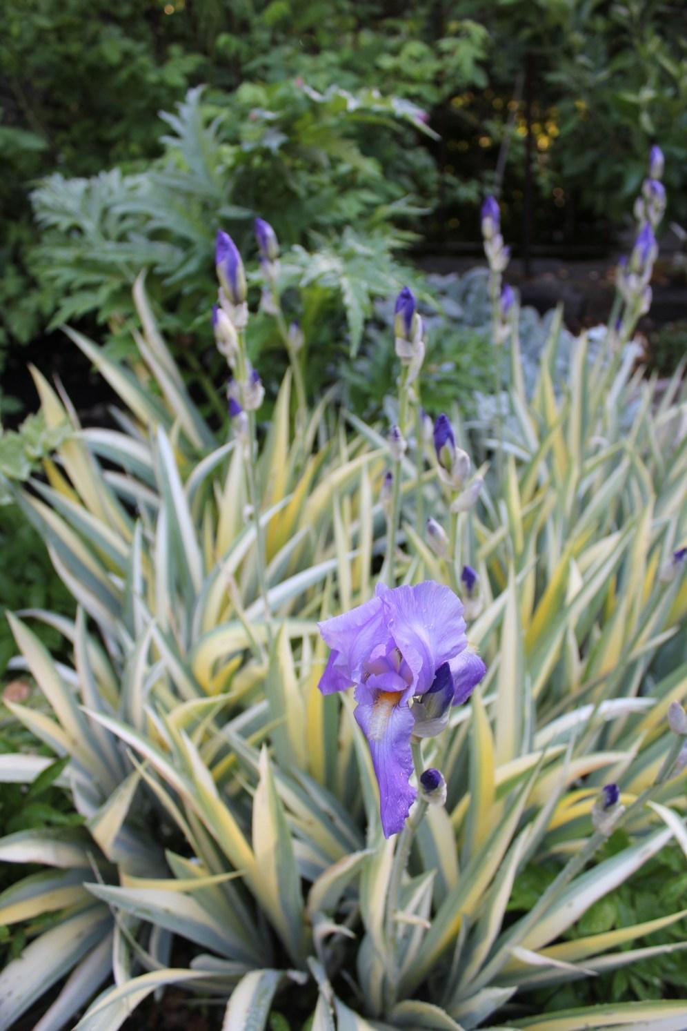 Iris Palladia