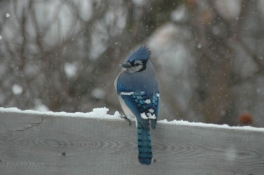 bird_Blue_Jay_Winter 15-01-2007 3-21-55 PM