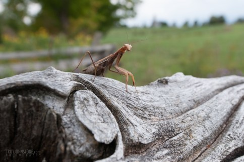praying_mantis-20110914-15