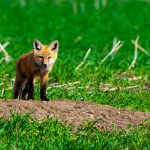 Fox_wildlife_kits-20090617-7