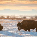 buffalo_winter_bison_-20090120-7