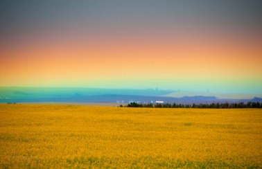 A very low rainbow over a field of canola. Alberta, Canada.