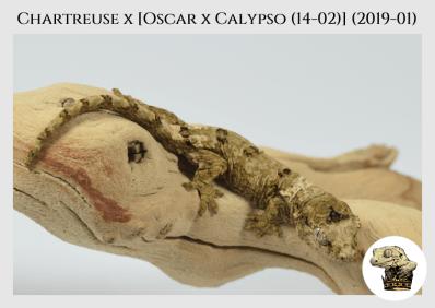 (5) Chartreuse x [Oscar x Calypso (14-02)] (2019-01)