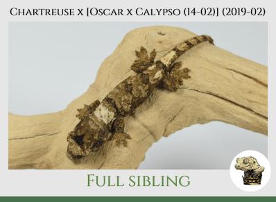 (6) Chartreuse x [Oscar x Calypso (14-02)] (2019-02)