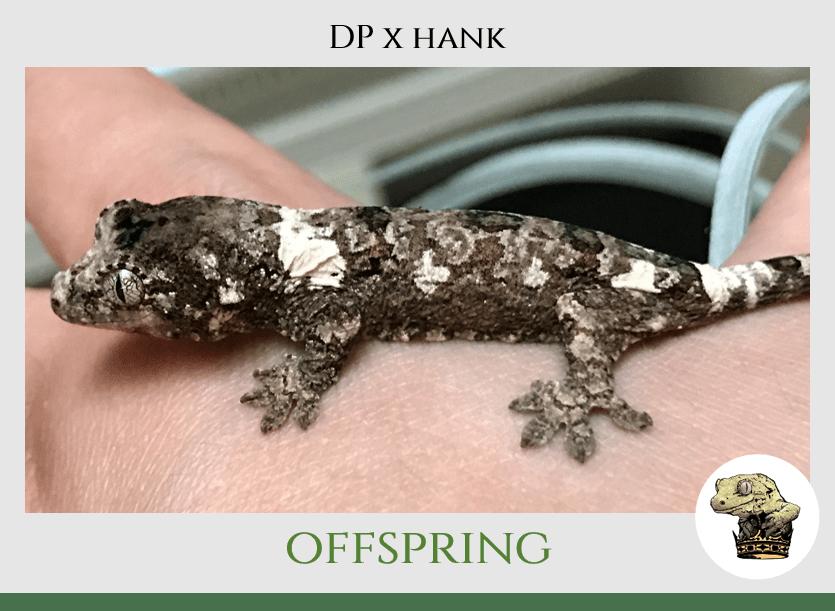 (7) DP x Hank Offspring