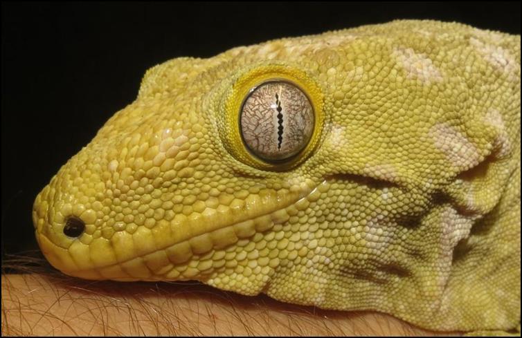 newcaledoniangiantgecko1