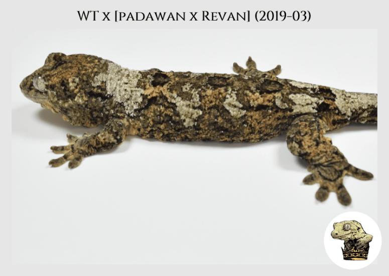 White Trash x (Padawan x Revan) (2019-03) WM (2020-02-29) (5)
