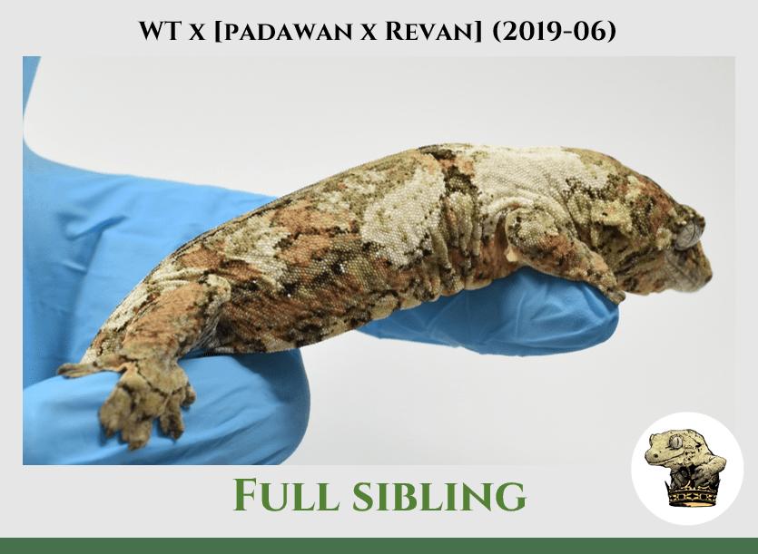 White Trash x (Padawan x Revan) (2019-06) WM SIbling (2)