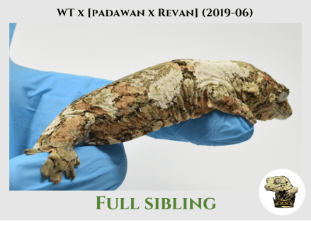White Trash x (Padawan x Revan) (2019-06) WM SIbling (2)