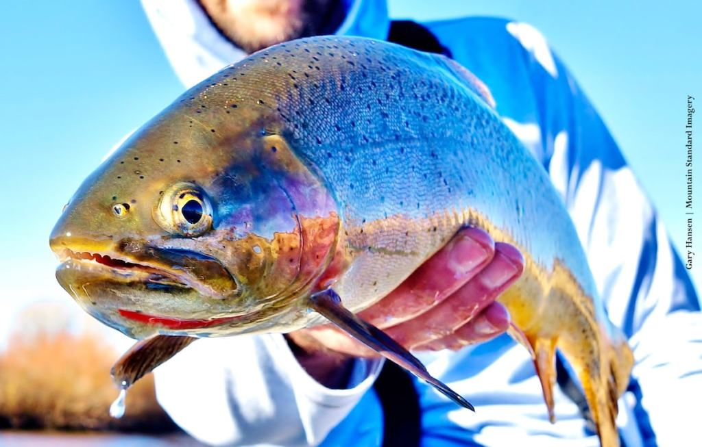 Cutthroat Trout - Fly Fishing Idaho