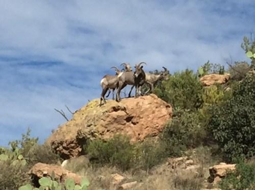 Bighorn Sheep on the Apache Trail
