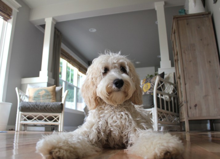 Jack the Labradoodle-The-Inspired-Room