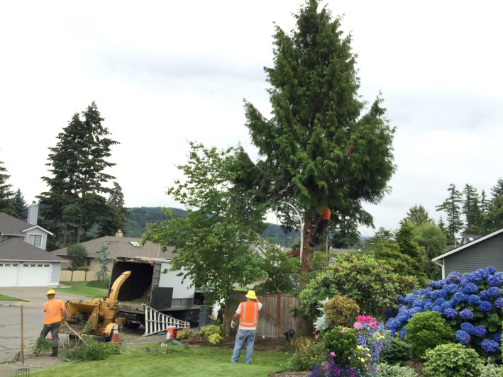 Pacific Rim Tree Service-highly recommend.