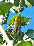 Blue-winged Warbler.   (D. Ghiglieri)