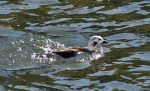 Long-tailed Duck.  (D. Ghiglieri)