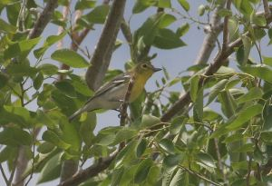 Yellow-throated Vireo. G. Scyphers