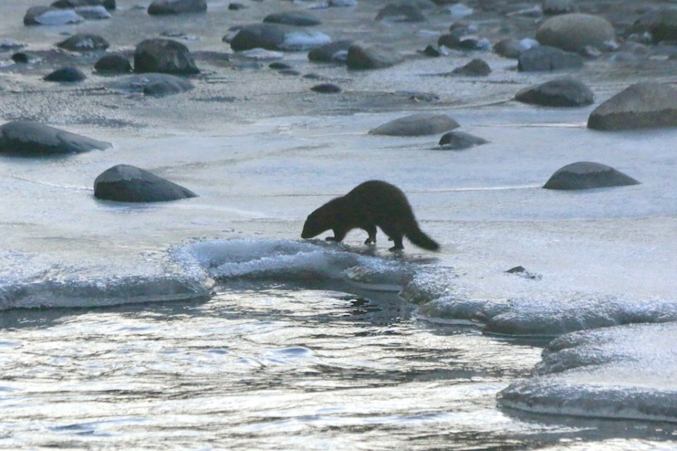 Mink foraging along the Truckee River near Rock Park at sunset January 2015