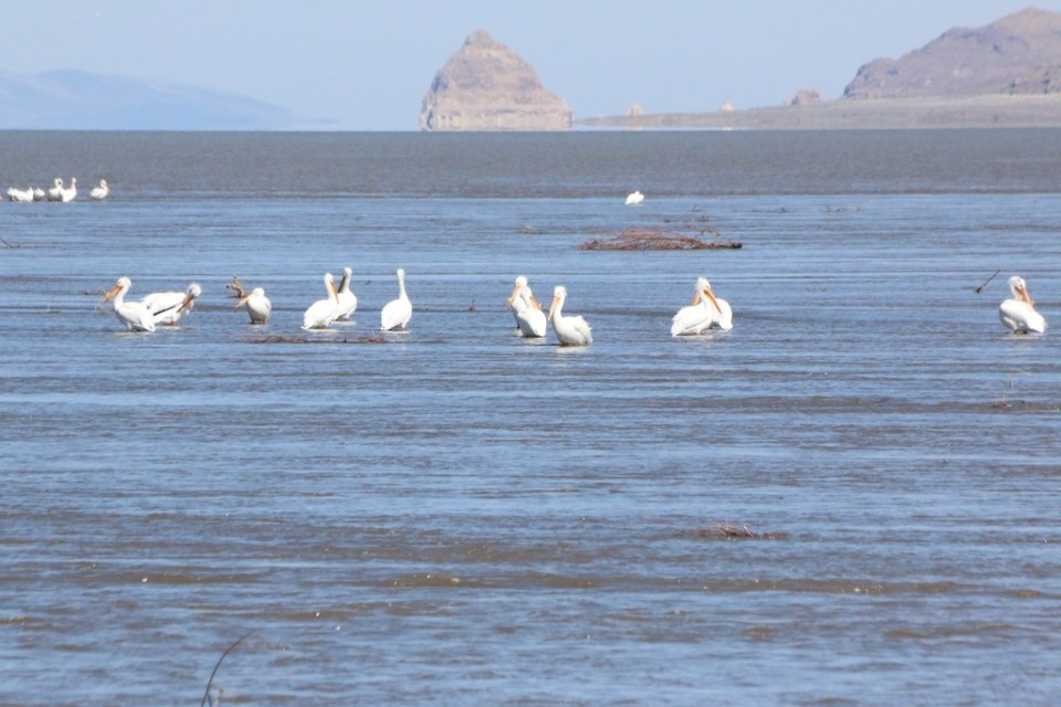 American White Pelicans hang out at the Truckee River delta at Pyramid Lake April 2017.