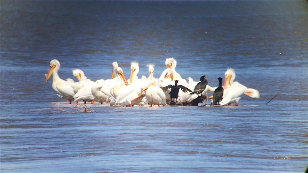 The Truckee River mouth at Pyramid Lake is close to 1/4 mile across as it enters Pyramid Lake with hundreds of American White Pelicans and California Gulls watching for migrating fish.