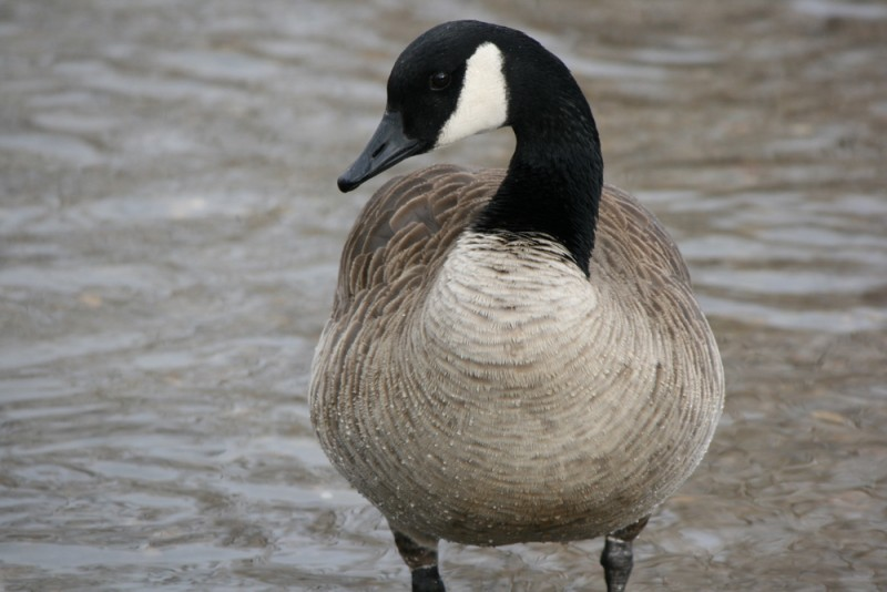 Canada Goose, Idlewild Park. December 13, 2015. Photo: K. Fitzgerald.