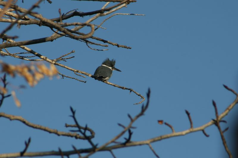 Belted Kingfisher (Megaceryle alcyon) overlooking the Truckee River, Idlewild Park, Reno. Jan 2015. Photo: K. McCutcheon.