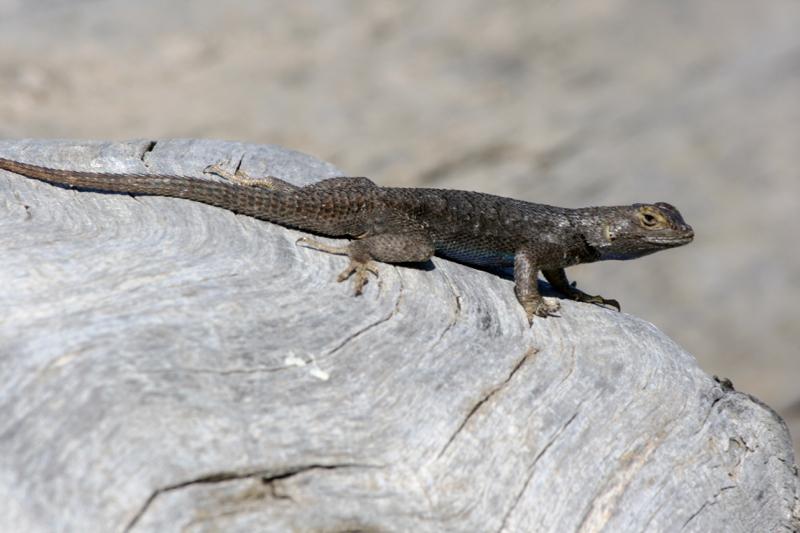 Western fence lizard, Lockwood Park. May 30, 2016.