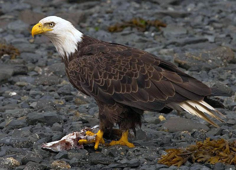 Bald Eagle (Haliaeetus leucocephalus) with fish from Kodiak, Alaska. Photo by Yahin S Krishnappa, Creative Commons License.