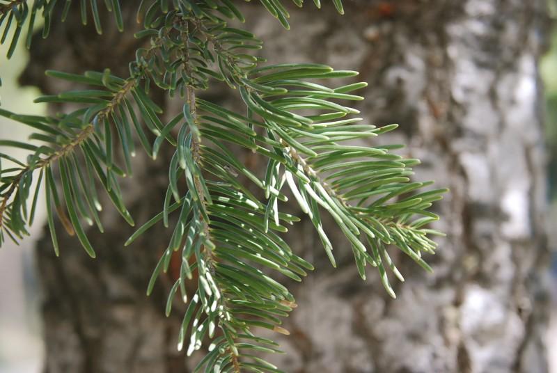 Sierra white fir (Abies lowiana), Truckee River. Photo: Kelsey McCutcheon.