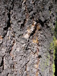 Bark of a mature Sierra white fir (Abies lowiana). Photo: K.McCutcheon.