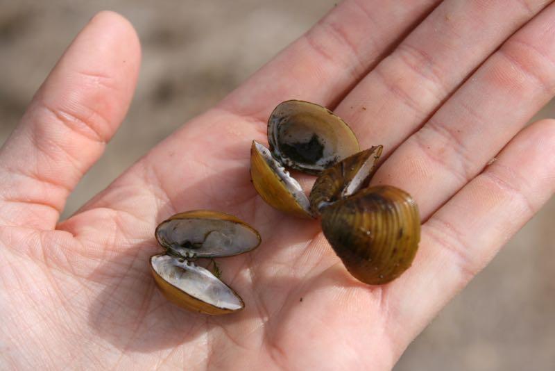 Asian clam (Corbicula fluminea) shells, Truckee River at McCarran Ranch. March 10, 2015.