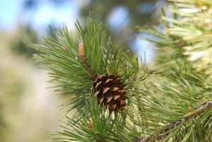 Sierra lodgepole pine (Pinus contorta var. murrayana), upper Truckee River, CA. Photo: K. McCutcheon.