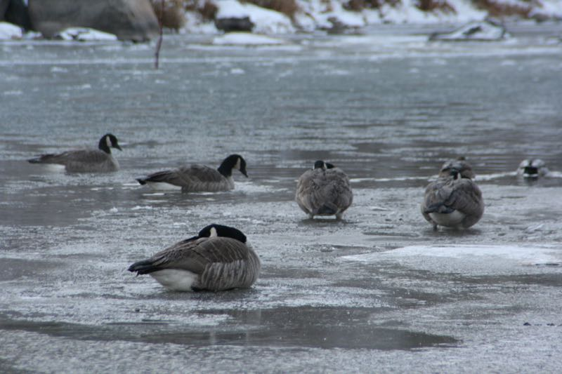 Canada geese on ice, Riverside drive, Reno, NV. Dec 31, 2014.