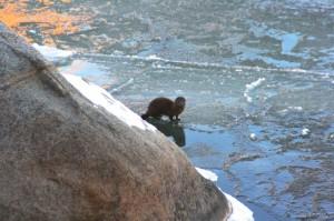 American mink (Neovison vison), Idlewild Park, Reno. Jan 2015. Photo: Kelsey McCutcheon.