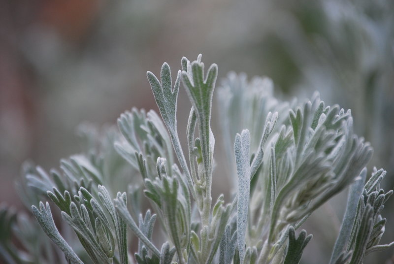 Big sagebrush (Artemisia tridentata). Photo: K.McCutcheon.