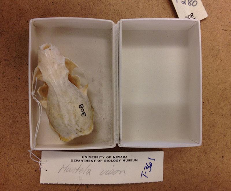Mink skull, UNR Natural History Museu