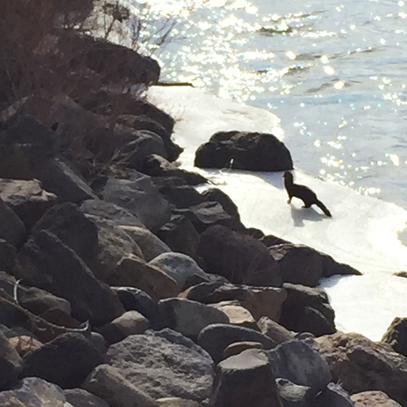 Mink near Glendale Ave., Jan. 6 2015. Photo by Walter.